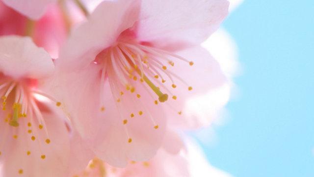 Mit Kirschblüten für Kunden werben