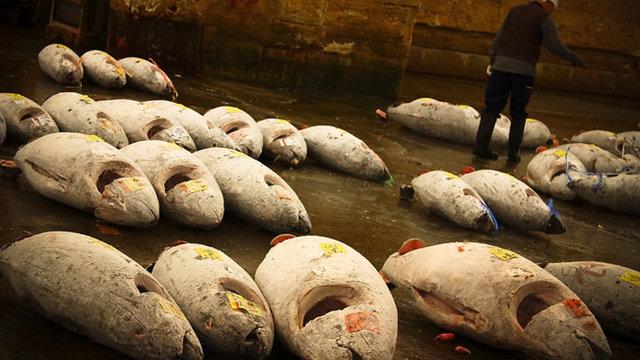 Gezüchtete Thunfische
