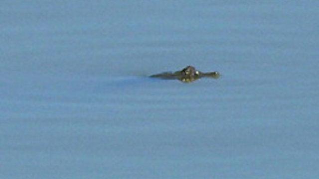 Der Alligator im Reservoir