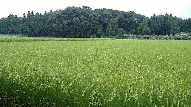 Verseuchter Reis