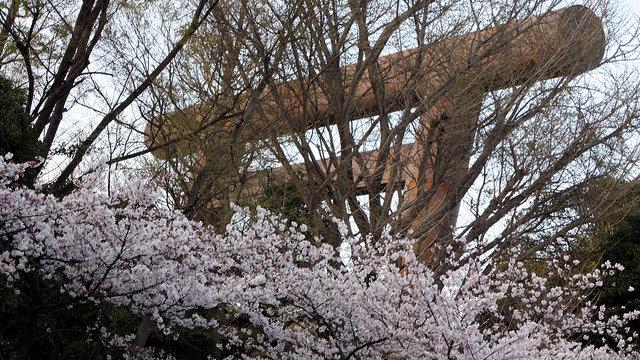 Frühreife Kirschblüten