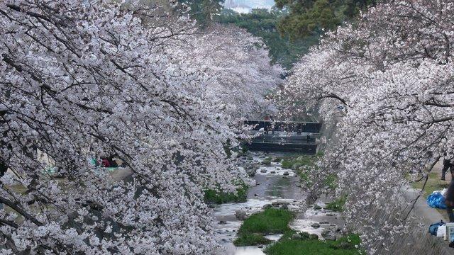 Virtuelle Kirschblüten