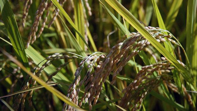 Unerwünschter Reis
