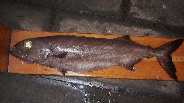 Der verbotene Fisch