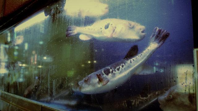Der giftige Kugelfisch