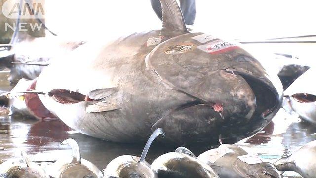 Der schwerste Thunfisch