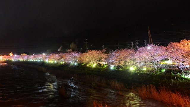 Die frühen Kirschblüten