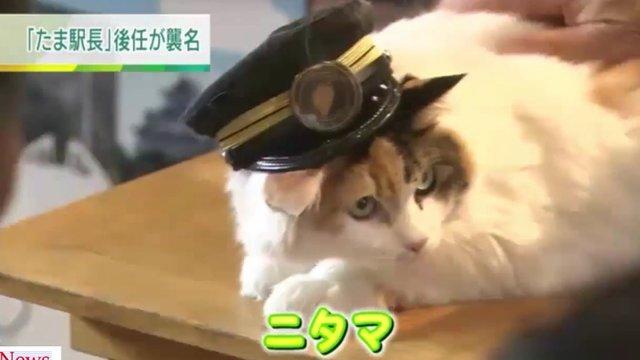 Japans neuer Katzen-Star