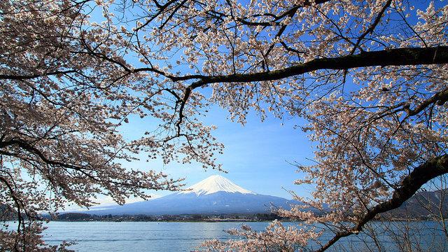 Die Kirschblüten-Prognosen