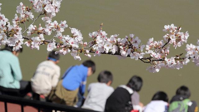 Der Beginn der Kirschblütenzeit