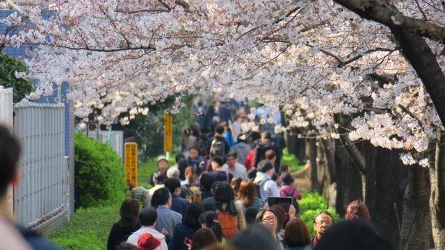 Japans Rekordfrühling