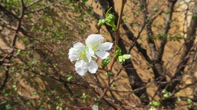 Verwirrte Kirschblüten