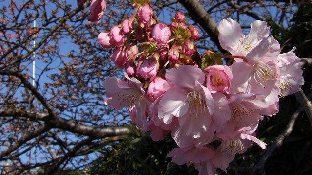 Die frühesten Kirschblüten