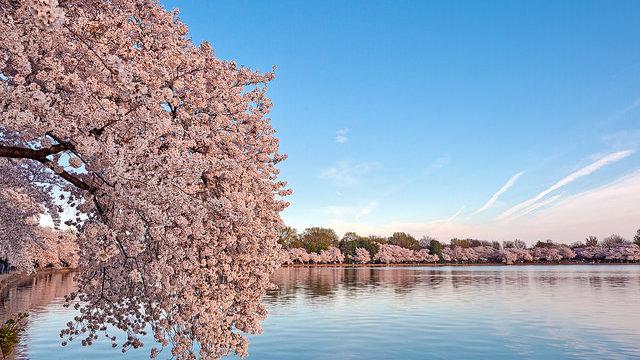 Die Kirschblüten-Diplomatie