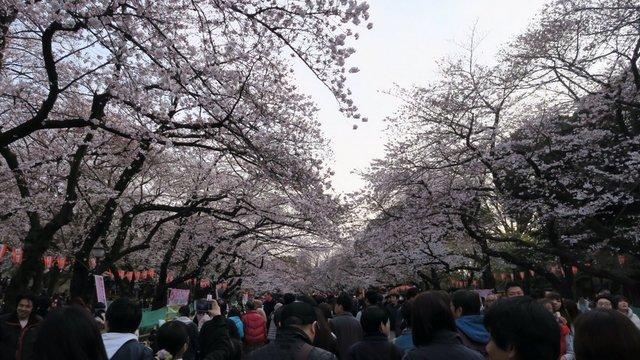 Tokio in voller Blüte