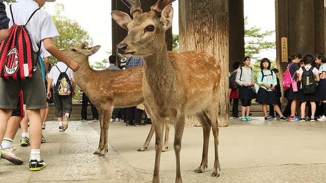 Zu viele Hirsche in Nara