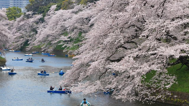 Die besten Kirschblüten-Orte in Tokio