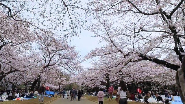 Die besten Kirschblüten-Tage: Eine Prognose