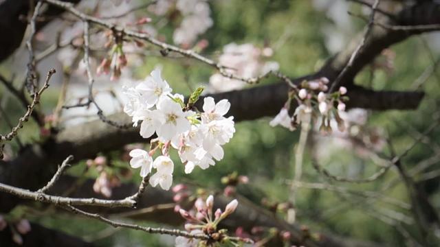 Die ersten Kirschblüten sind da