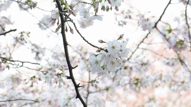 Die Kirschblüten-Strasse des Kaisers