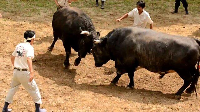 Der japanische Sumo-Stierkampf