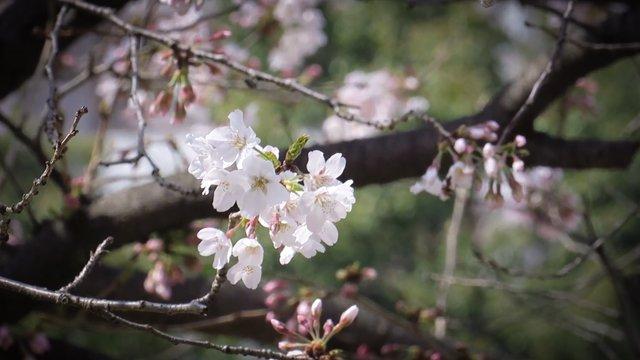 Die letzten Kirschblüten in Japan