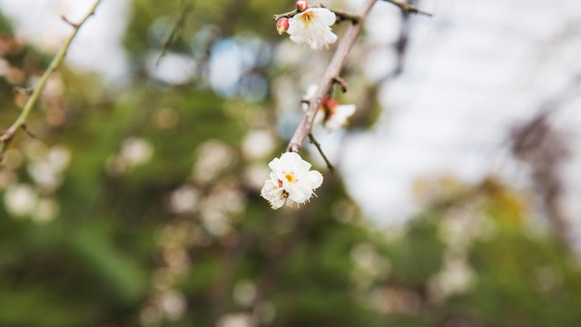 Kirschblüten im Oktober