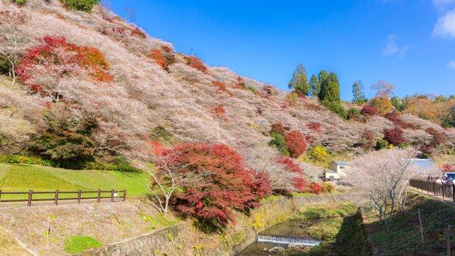 Die Herbst-Kirschblüten von Toyota