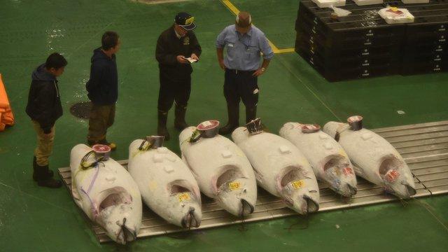 Toyosu: Die Thunfisch-Auktion im neuen Fischmarkt