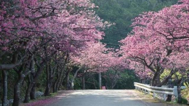 Japans erste Kirschblüten