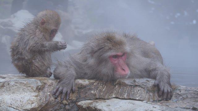Die badenden Schneeaffen von Nagano