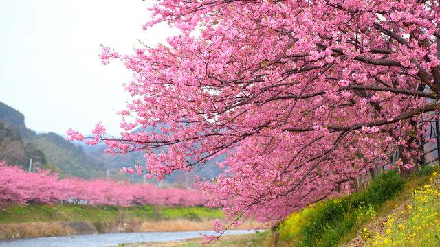 Die frühen Kirschblüten von Kawazu