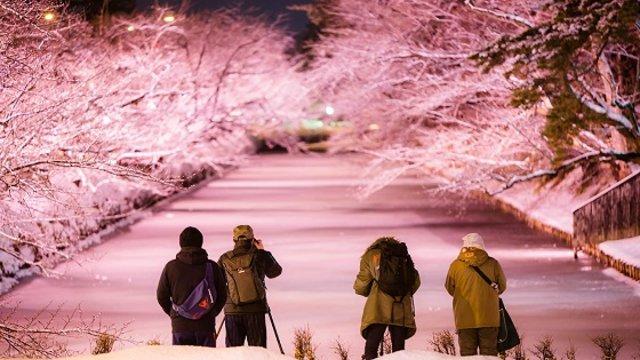Die «Winter-Kirschblüten» von Hirosaki