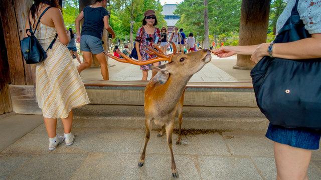 Niedlich und gefährlich: Die Hirsche von Nara