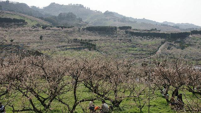 Vorzeichen des Frühlings: Die Pflaumenblüten von Minabe