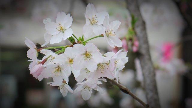 Frühlingsbeginn: Die ersten Kirschblüten sind da