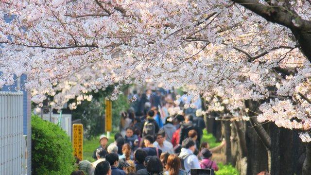 Ein neuer Rekordfrühling für Japan