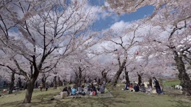 Ein Spaziergang durch Japans Kirschblüten-Spots