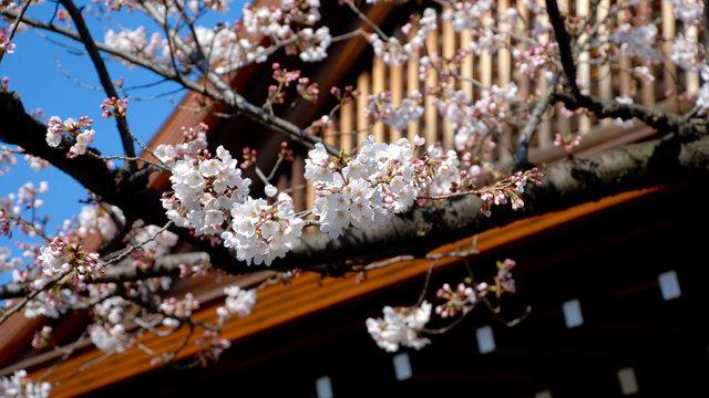 So früh wie noch nie: Die Kirschblütenzeit beginnt