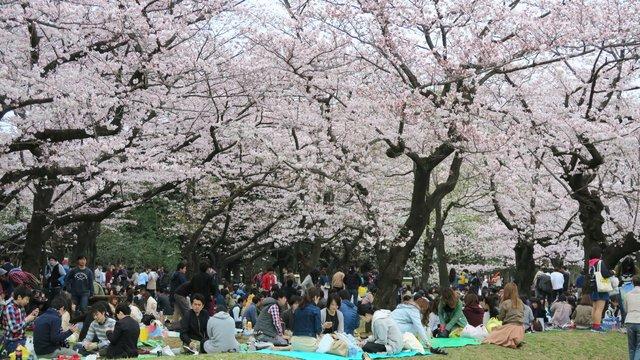 Tokio will keine Kirschblüten-Partys in den Parkanlagen