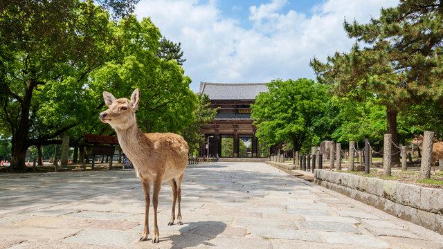 Hirsche von Nara: Die Rückkehr zur Natur