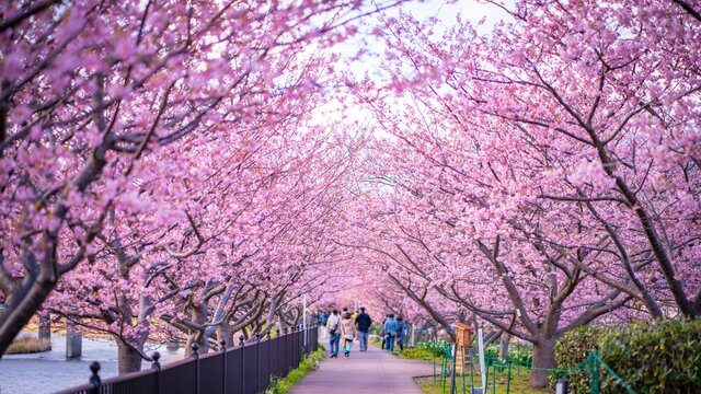 Kirschblüten-Stimmung im Februar