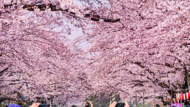 Die Kirschblüten von Ueno