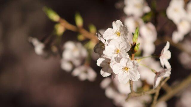 Frühlingserwachen in Japan