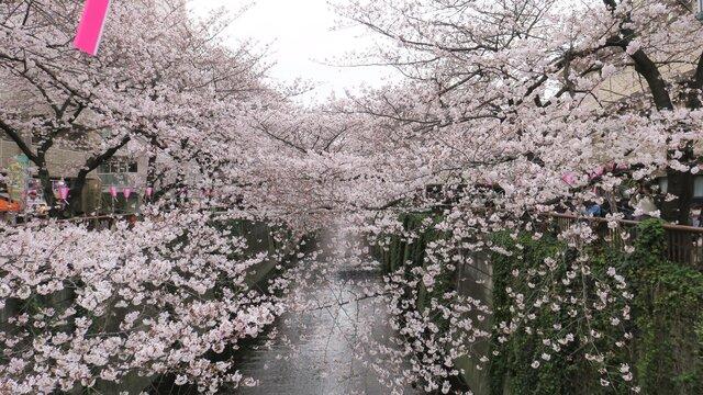 Die Kirschblüten-Promenade von Meguro
