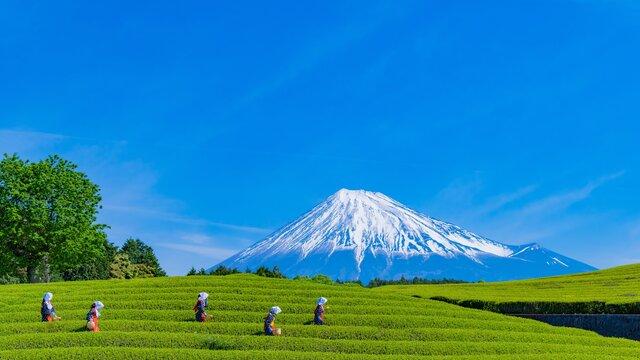 Shincha: Die erste Grüntee-Ernte