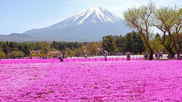 Das Blumenfeld und der Fuji